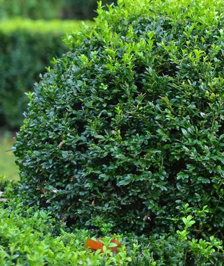 King's Lawn Care LLC Shrubs & Hedges